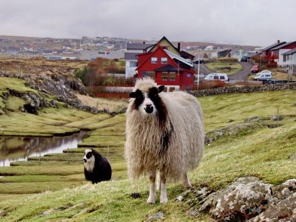 Sheep in the Faroe Islands