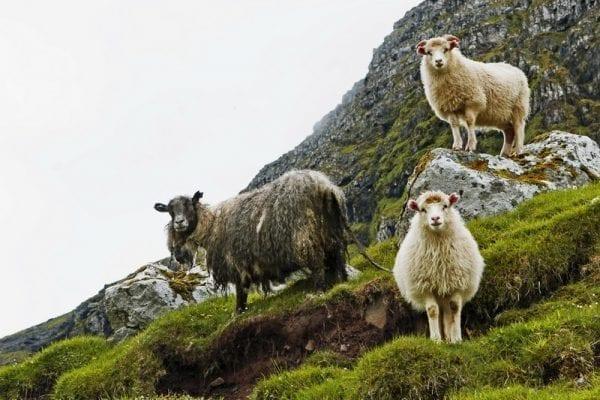 Sheeps in the Faroe Islands