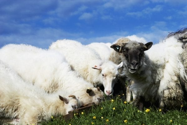 Sheeps in the Faroe Islands