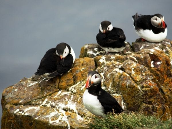 Puffins Iceland
