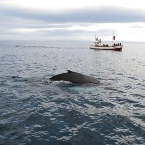 Whales, Iceland, Whale watching