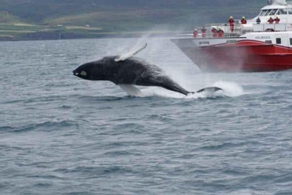 Whale watching Akureyri