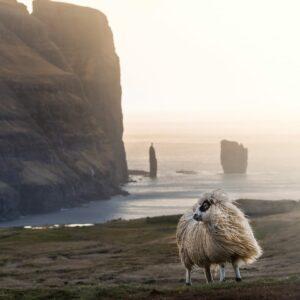 Sheep in Faroe Islands