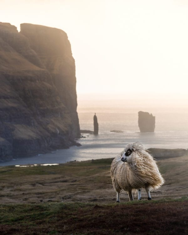 Sheep in Faroe Islands