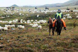 Réttir Iceland Sheep